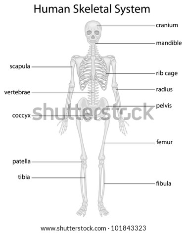 Illustration of skeletal system with labels - stock vector