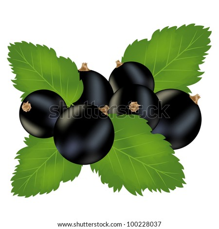 Illustration of the berries of the black currant on white background - stock vector