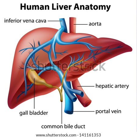 Illustration of the human liver anatomy - stock vector