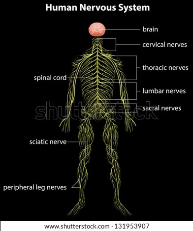 Human nervous system on display - photo#46