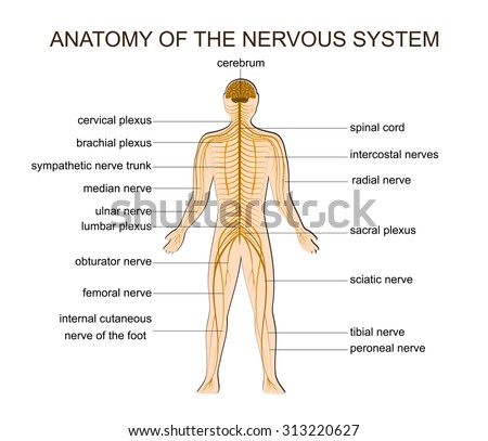 ILLUSTRATION OF THE STRUCTURE OF THE HUMAN NERVOUS SYSTEM - stock vector