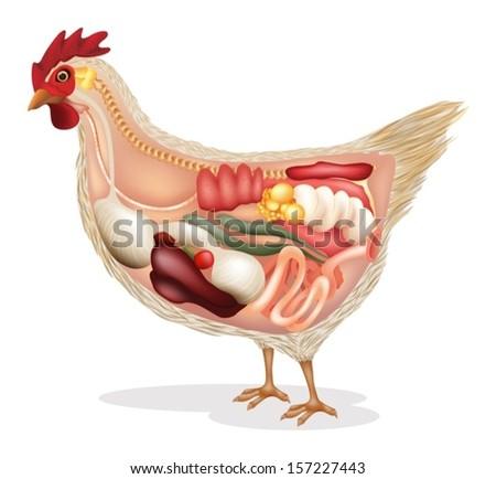 Chicken kidney anatomy