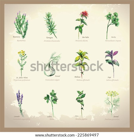 Illustration Spicy and curative herbs. Collection of fresh herbs. Icon.                                        - stock vector