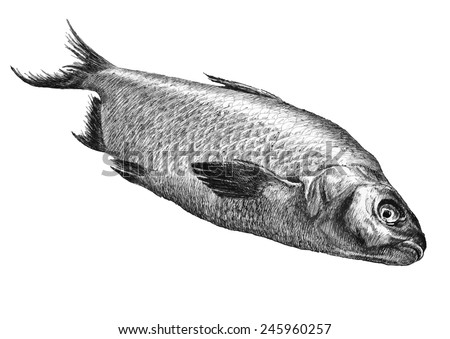 illustration with realistic fish. hand drawn. - stock vector