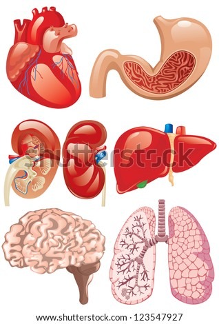 internal organs set - stock vector