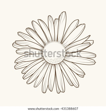 Isolated daisy chamomile close up top view. Loves me loves me not flower. Brown outline on beige background. - stock vector