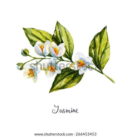 jasmine. watercolor illustration - stock vector