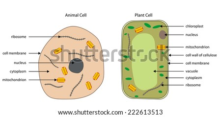 Labelled diagrams of typical animal and plant cells with editable layers. - stock vector
