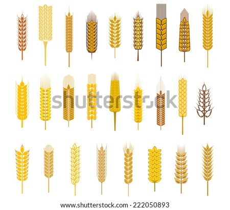 Large collection flat ears of cereals and grains such as wheat, barley and rye in golden silhouette icons on white for agriculture design - stock vector