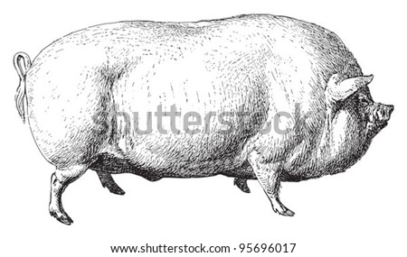 Large White pig or English Large White / vintage illustration from Meyers Konversations-Lexikon 1897 - stock vector