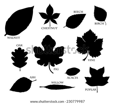 Leaf collection. Set of walnut, chestnut, beech, birch, oak, fig, vine, ash, willow, acacia and poplar leaves. vector art image illustration, black silhouette design, isolated on white background - stock vector