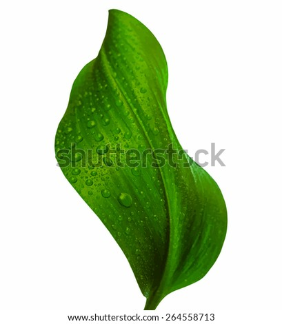 leaf with drops of water, vector - stock vector