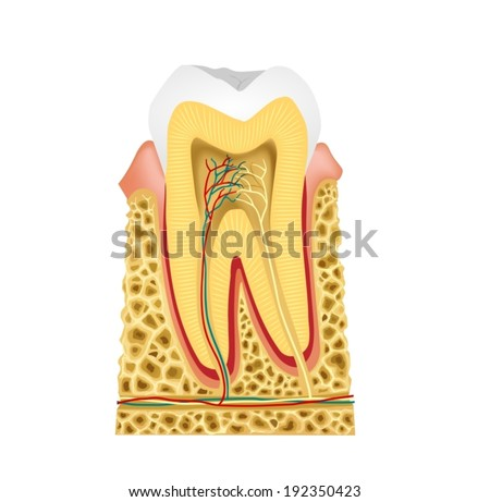 Longitudinal section in the tooth -Tooth Anatomy A vector illustration of a Longitudinal section in the human tooth to show tooth anatomy  - stock vector