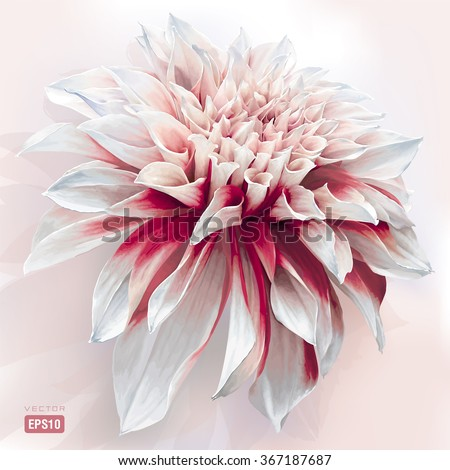 Luxurious red-white garden Dahlia flower painted in watercolor style - stock vector