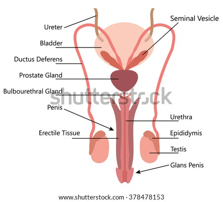 The Penis Human Anatomy: Diagram, Function - WebMD