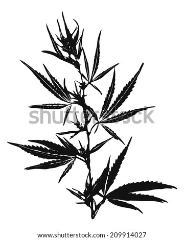 Marijuana Leaves, Cannabis - stock vector