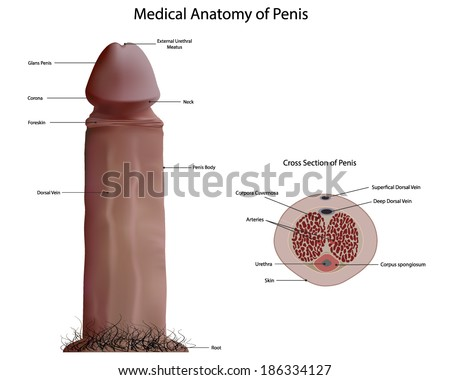 Medical anatomy of penis vector - stock vector