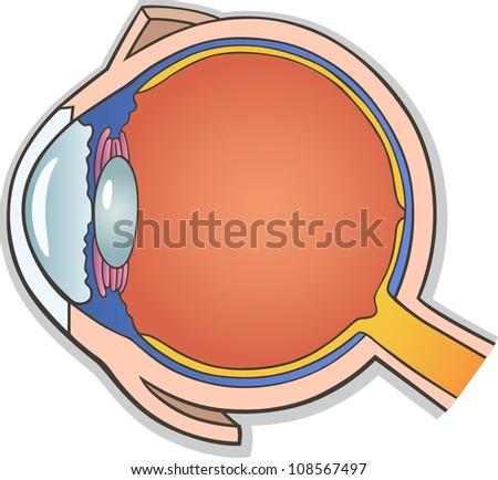 Medical Vector Illustration of Human Eye Ball Cross Section - stock vector