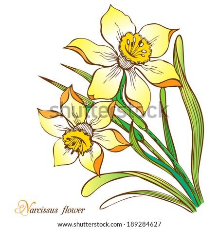 Narcissus flower - stock vector