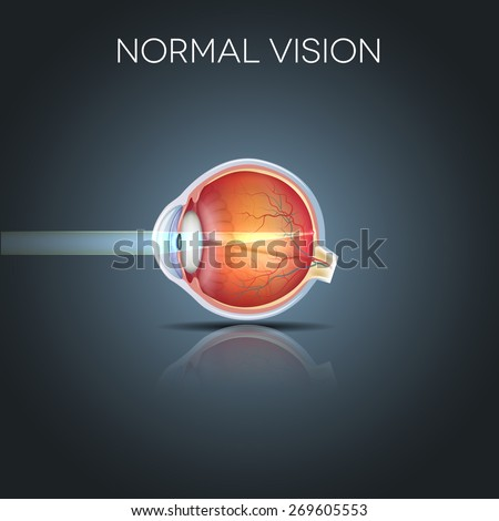 Normal eye vision, detailed anatomy of the healthy eye - stock vector
