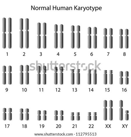 Normal human karyotype - stock vector
