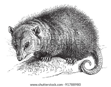 North American opossum (Didelphis virginiana) / vintage illustration from Meyers Konversations-Lexikon 1897 - stock vector