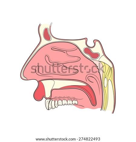 nose anatomy outline color vector illustaration - stock vector