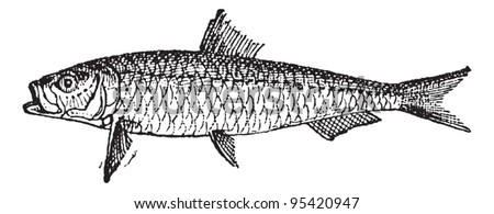 Old engraved illustration of Sardine or Pilchard isolated on a white background. Dictionary of words and things - Larive and Fleury - 1895 - stock vector