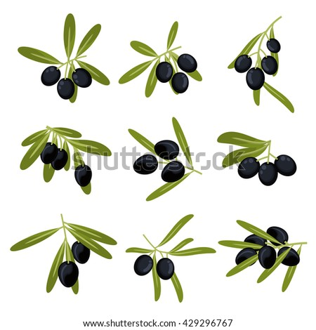 Organically grown olive fruits icons for olive oil packaging or peace symbol design with fresh green leafy branches with ripe large black olives  - stock vector