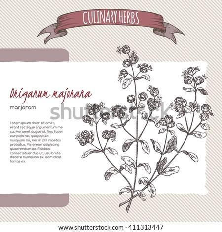 Origanum majorana aka Marjoram vector hand drawn sketch. Culinary herbs collection. Great for cooking, medical, gardening design. - stock vector