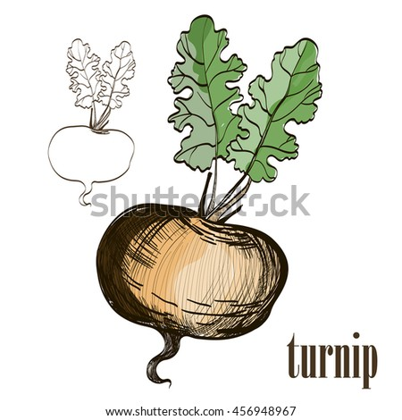 Painted turnip on white background. Eco food background. Vector illustration. eps10 - stock vector