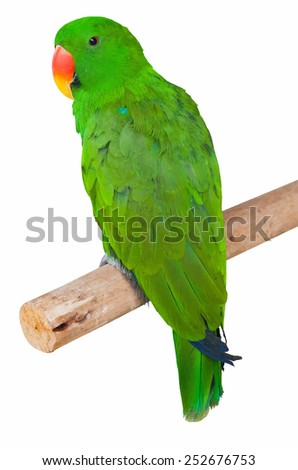 parrot isolated in white background  - stock vector