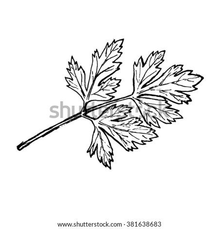 parsley vector sketch - stock vector