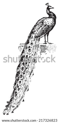 Peacock, vintage engraved illustration. Dictionary of words and things - Larive and Fleury - 1895. - stock vector