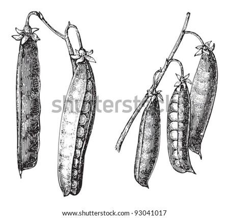 Peas - vegetable / vintage illustration from Meyers Konversations-Lexikon 1897 - stock vector
