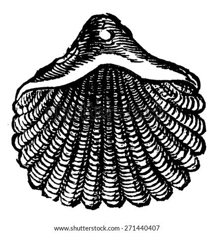 Pentamerus, vintage engraved illustration. Earth before man - 1886. - stock vector