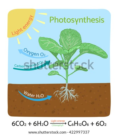 Photosynthesis process diagram. Schematic vector illustration.  - stock vector