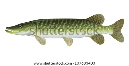 """Pike Fish Northern Pike (Esox Lucius) Freshwater. """"Full compatible Vector. Created with gradients."""" - stock vector"""