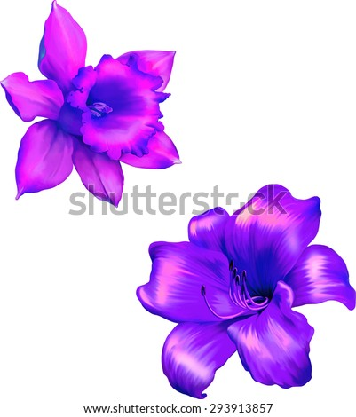 Pink lily flower.Purple Daffodil flower or narcissus isolated on white background - stock vector