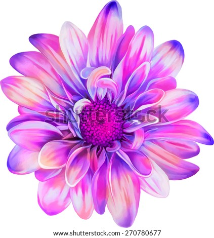 Pink purple chrysanthemum flower, Spring flower.Isolated on white background. Vector golden-daisy - stock vector