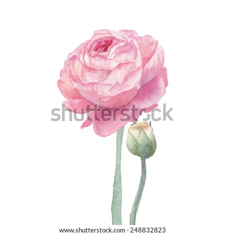 Pink ranunculus flowers. Watercolor hand drawn floral artwork isolated on white background. Vector botanical illustration - stock vector