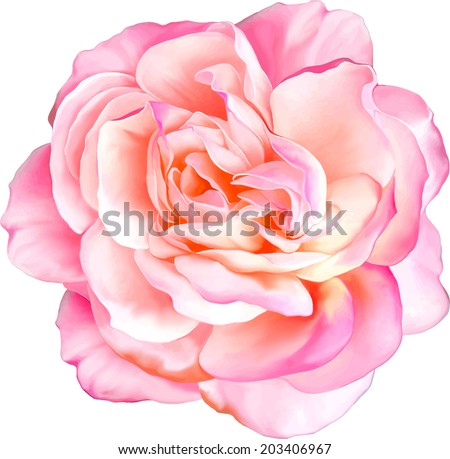 Pink Rose Flower isolated on white background - stock vector