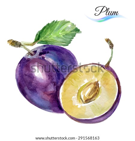 Plum drawing watercolor isolated on white background for design - stock vector