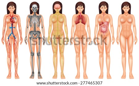 Poster of female internal boby system - stock vector