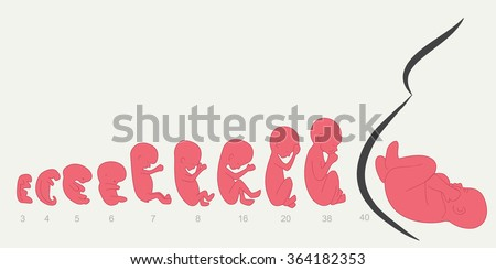 Pregnancy. Fetal growth from 3 to 40 weeks. Infographics - stock vector