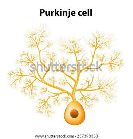 Purkinje cell or Purkinje neuron. Morphology of the Purkinje cell model. dendrites Purkinje cells can generate electrical impulses - stock vector