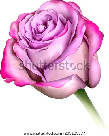 Purple Blue Rose Flower, Sexy and beautiful and rose bud isolated on white background. Vector illustration - stock vector