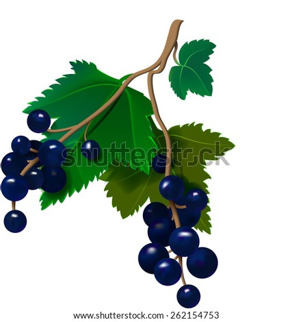 Realistic currants on a white background. Vector illustration - stock vector