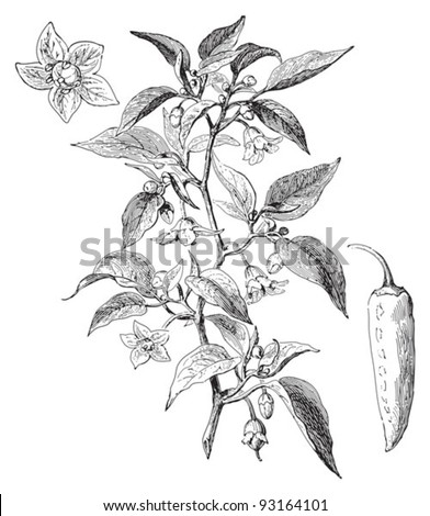 Red chili pepper (Capsicum longum) / vintage illustration from Meyers Konversations-Lexikon 1897 - stock vector