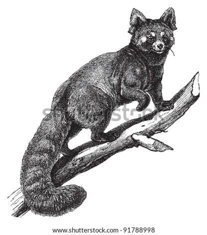 Red panda (Ailurus fulgens) / vintage illustration from Meyers Konversations-Lexikon 1897 - stock vector